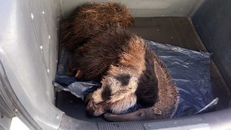 Animal foi levado por morador até a sede da Guarda Civil Municipal de Salto de Pirapora — Foto: Guarda Civil Municipal/Divulgação