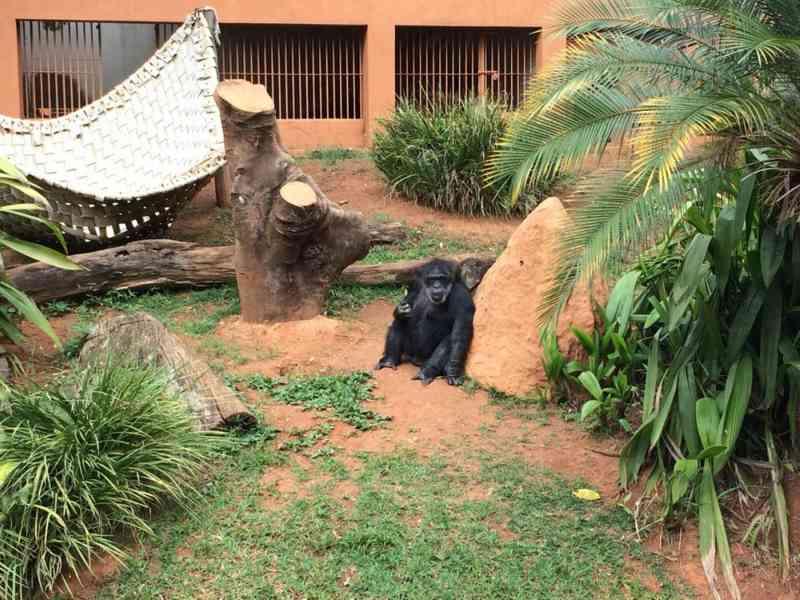 Justiça determina transferência de chimpanzé que vive sozinho no Zoológico de Sorocaba, SP