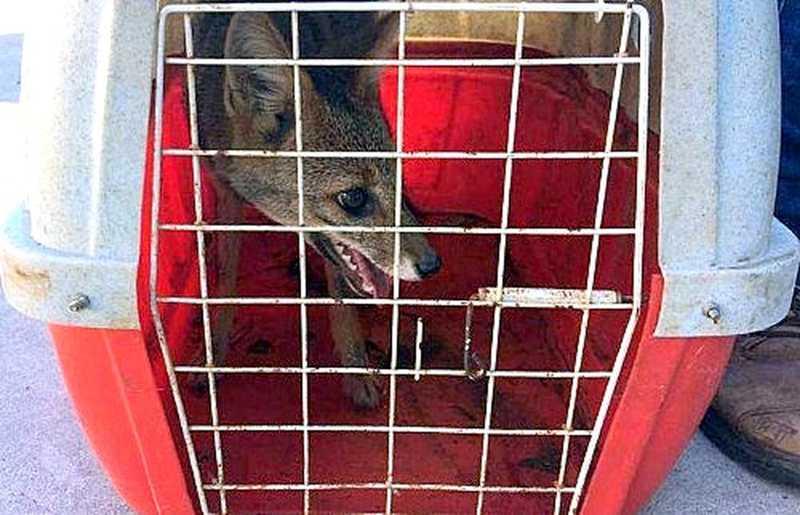 Filhote de raposa é resgatada em supermercado de Araraquara, SP