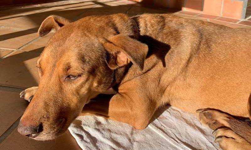 Cadela passa bem no pós-operatório após ter sido estuprada em Cabreúva — Foto: Arquivo Pessoal