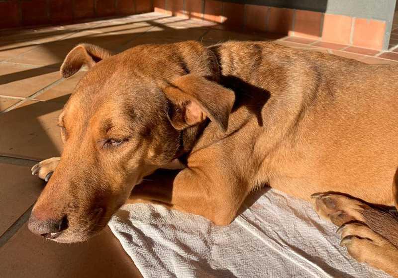 Cachorra com sinais de estupro é resgatada por ativista e guardas civis no interior de SP