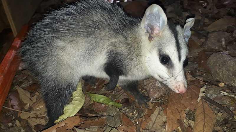 Defesa Civil de Cabreúva (SP) resgata cerca de 10 animais selvagens por mês