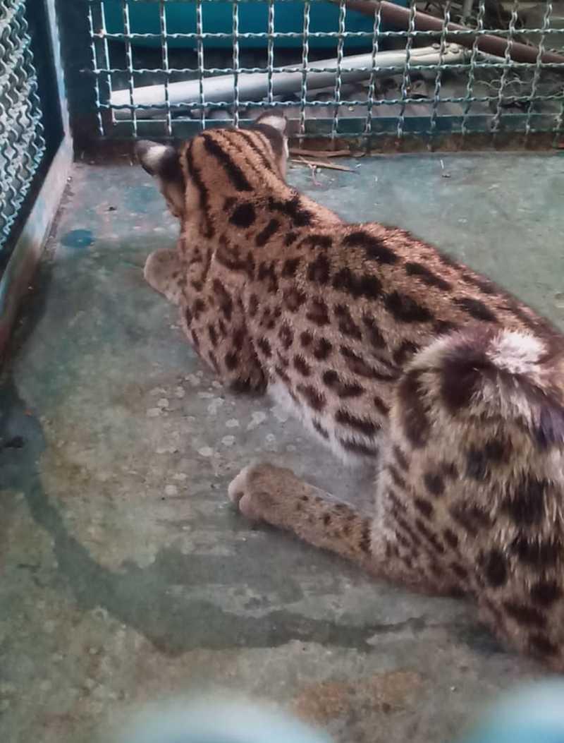 Gato-do-mato é retirado de obra em rodovia em Caraguatatuba, SP