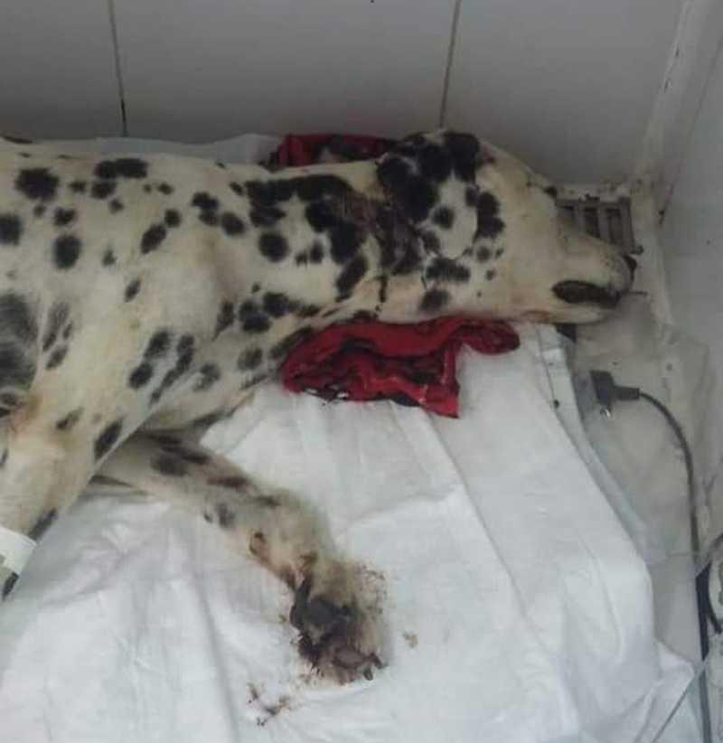Dois dias após resgate, morre cão enterrado vivo em Jacareí, SP