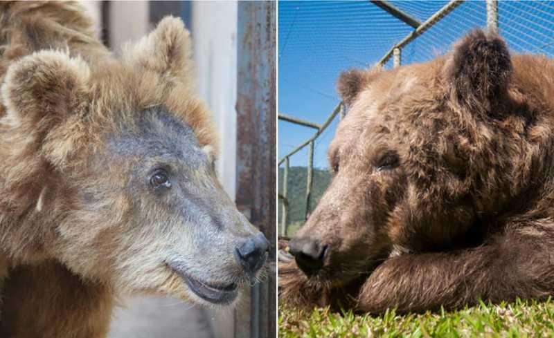 Fuça da ursa foi preenchida com novos pelos — Foto: Hellen Souza/Arte G1