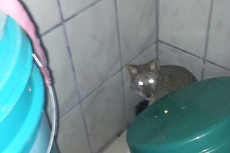 Raposa é capturada em banheiro de casa em José Bonifácio, SP