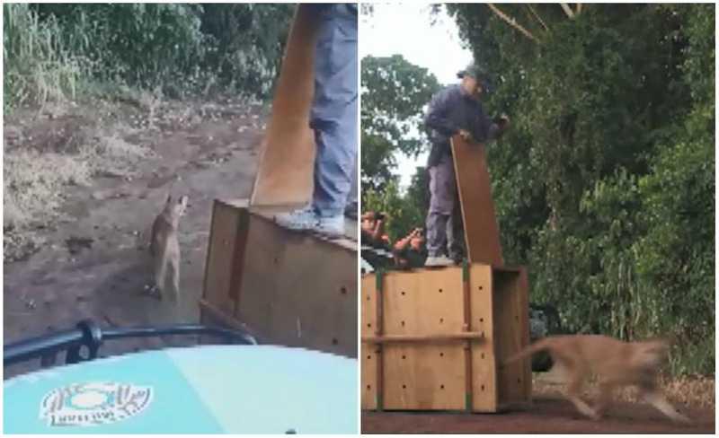 VÍDEO: onça-parda que 'passeou' por casas e assustou moradores de São Carlos (SP) é solta em reserva