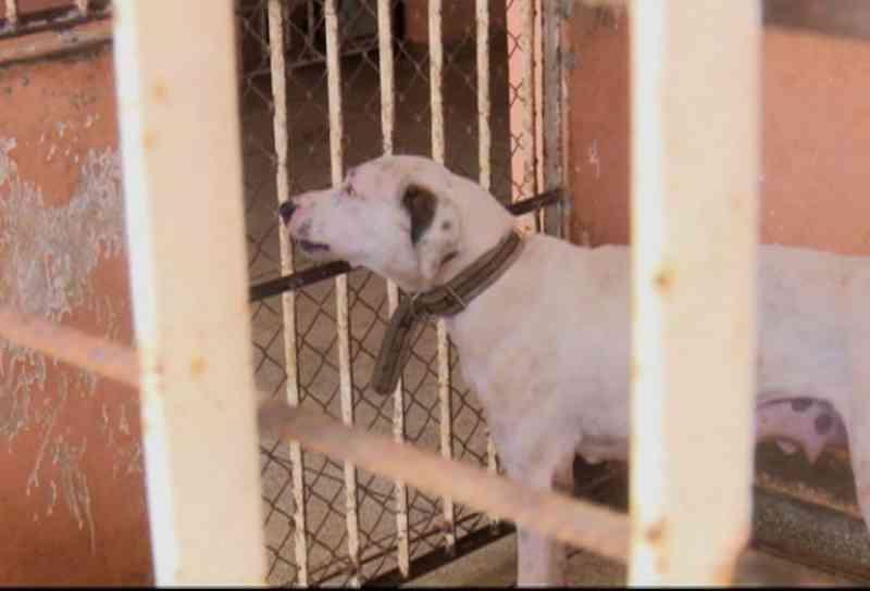 Centro de Zoonoses de Cruzeiro do Sul (AC) castra cadelas para controlar número de cachorros nas ruas