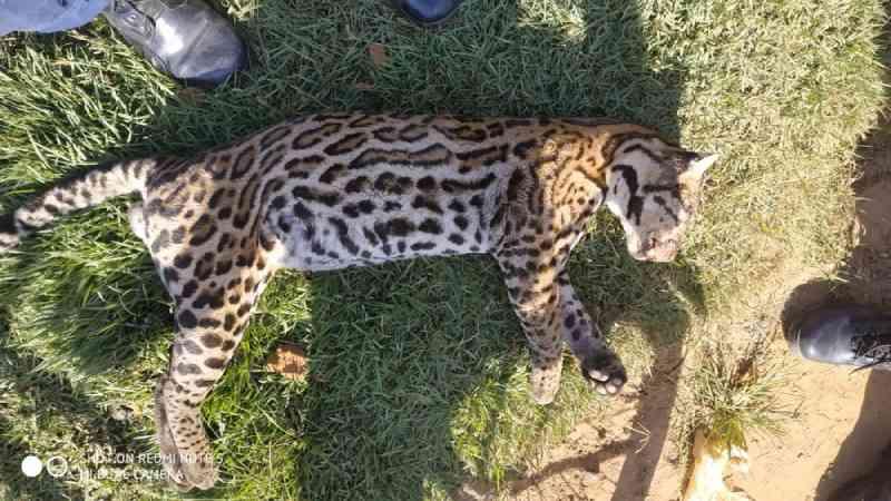 Moradores acham onça morta no Acre e bombeiros cogitam envenenamento do animal