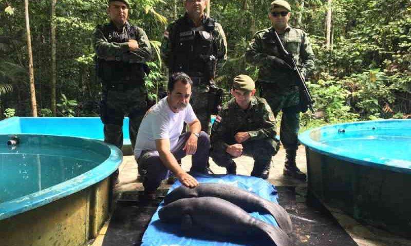 Filhotes de peixes-bois são resgatados em Autazes, no interior do AM