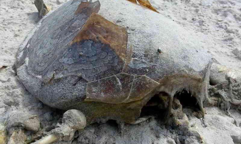 Tartaruga é encontrada morta em praia no sul da Bahia; sobe para 68 número de casos na região