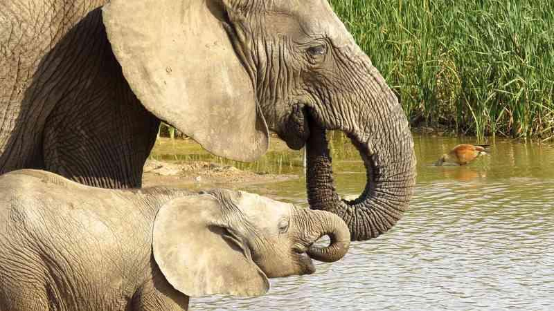 Após cinco anos de proibição, Botsuana volta a permitir caça de elefantes
