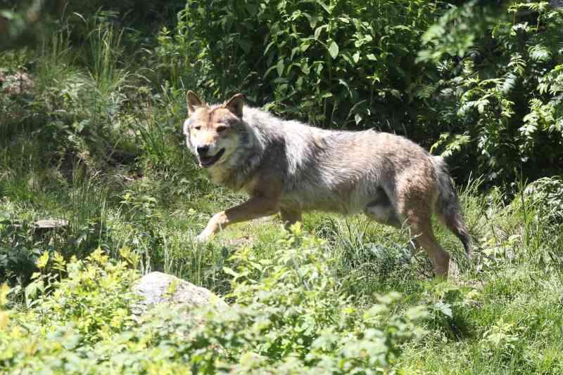 França vai autorizar massacre de lobos sob pretexto de conter reprodução acelerada