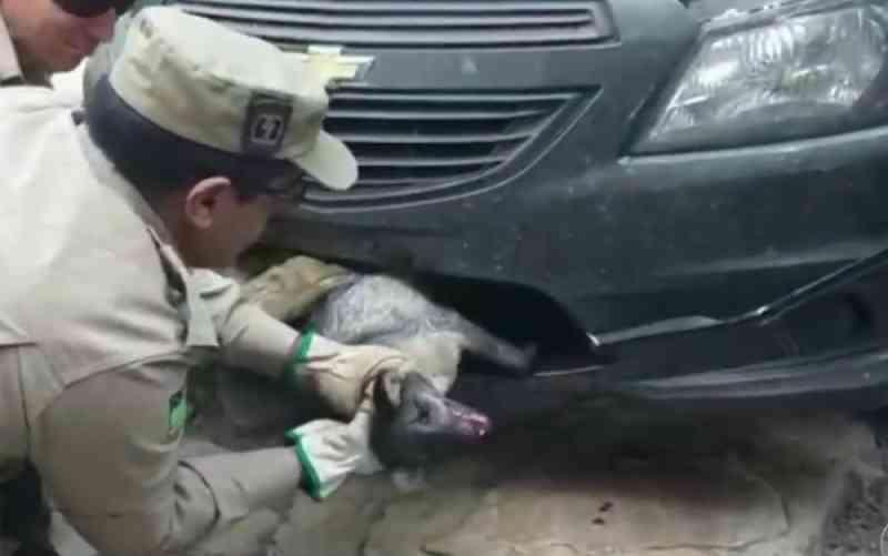 Morre raposa que viajou 150 km presa em para-choque de carro, em Caldas Novas, GO