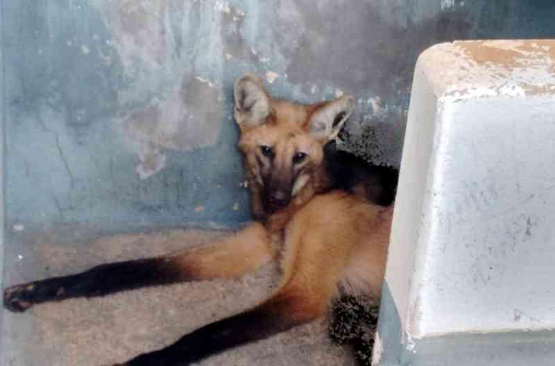 Veterinário pede doação de alimentos para tratar de lobo-guará com problemas de saúde no MS