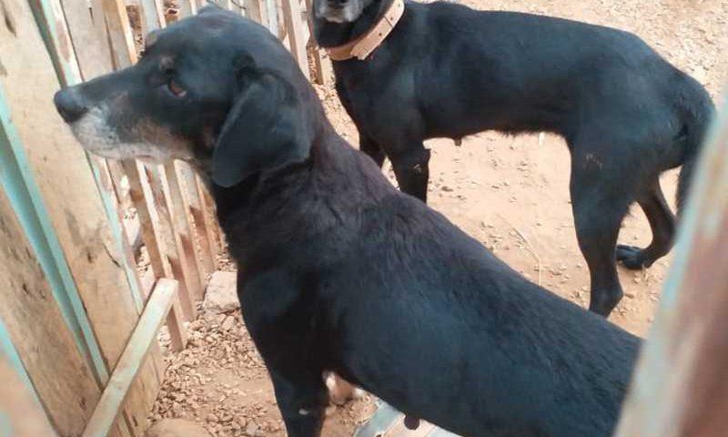 Morador foi detido por zoofilia e maus-tratos contra 2 cadelas e ONG resgatou animais em Primavera do Leste — Foto: ONG SOS Animais Primavera do Leste