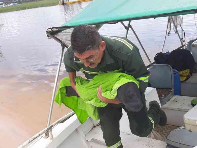 Filhote de peixe-boi resgatado em Juruti é transferido para tratamento em Santarém, PA