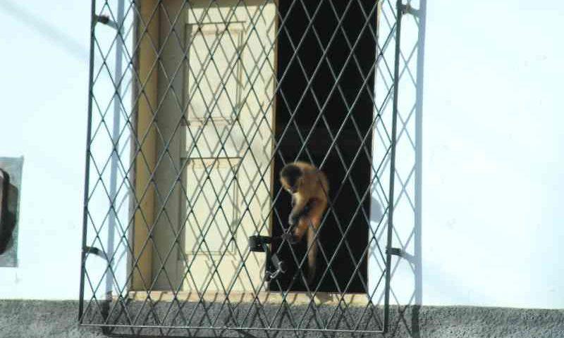 Macaco-prego é flagrado amarrado no sol quente em Teresina, PI