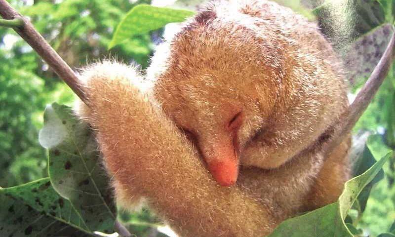 Menor tamanduá do Brasil se assemelha a um bichinho de pelúcia — Foto: Flávia Miranda/ Arquivo Pessoal