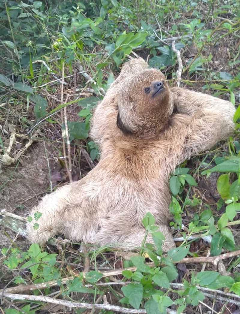 Bicho-preguiça encontrado em beira de estrada é devolvido à natureza por moradora em Cabo Frio, no RJ