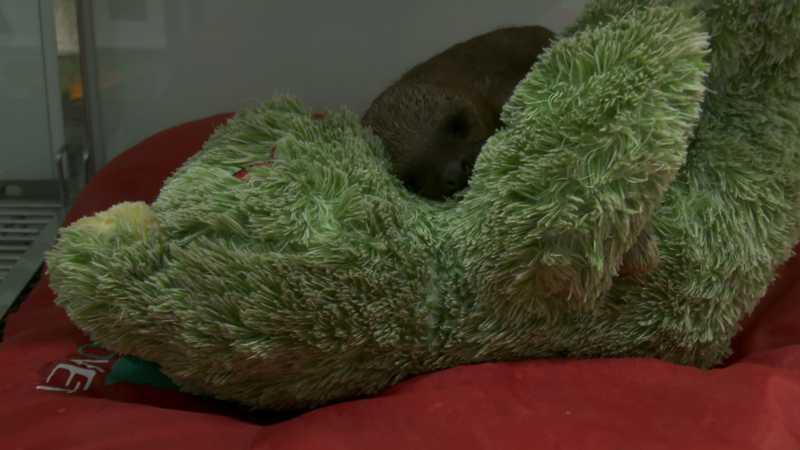 Preguiça de três meses de idade ganhou urso de pelúcia para amenizar a perda da mãe. — Foto: Rede Amazônica/Reprodução