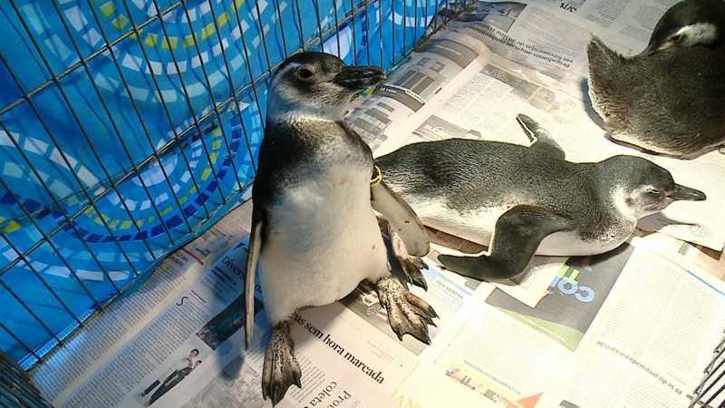 Pinguins encontrados no litoral do RS passam por tratamento em universidade de Rio Grande, RS