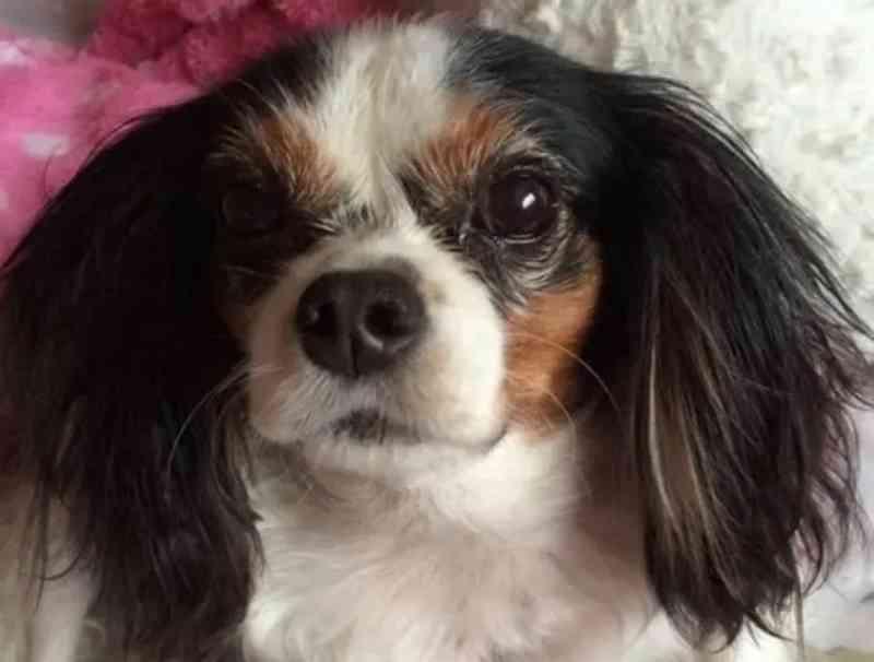 Cadela que sofreu maus-tratos inspira lei que impede 'fábrica de filhotes' no Reino Unido