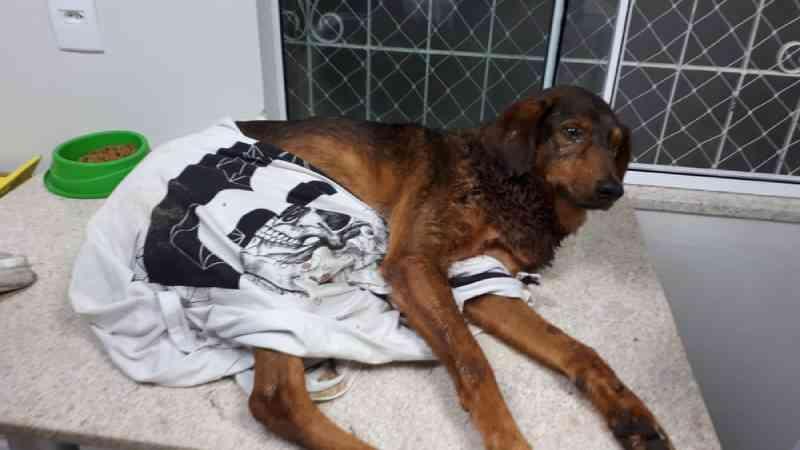 Cachorro de rua é encontrado esfaqueado em praia de Balneário Camboriú, SC