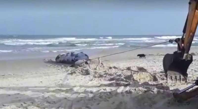 Baleia jubarte foi encontrada morta em praia no Sul de Santa Catarina. — Foto: Reprodução/NSC TV