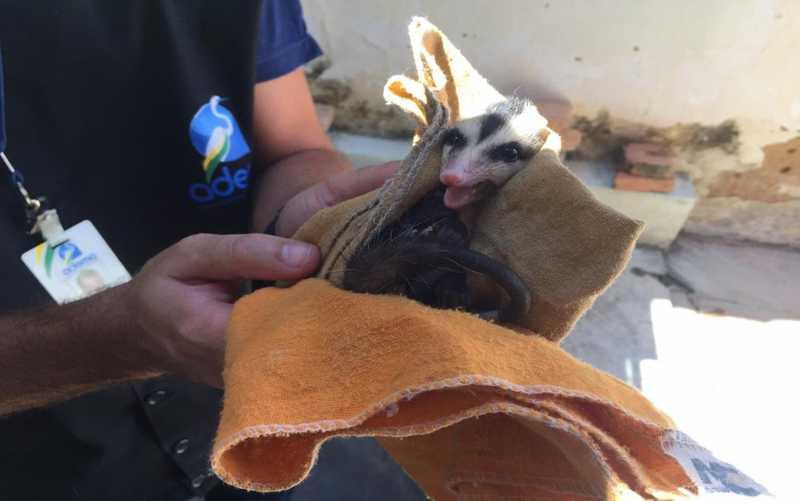 Gambá-de-orelha-preta, popularmente conhecido como saruê, é resgatado em residência em Aracaju — Foto: Ascom/Sedurbs/Divulgação