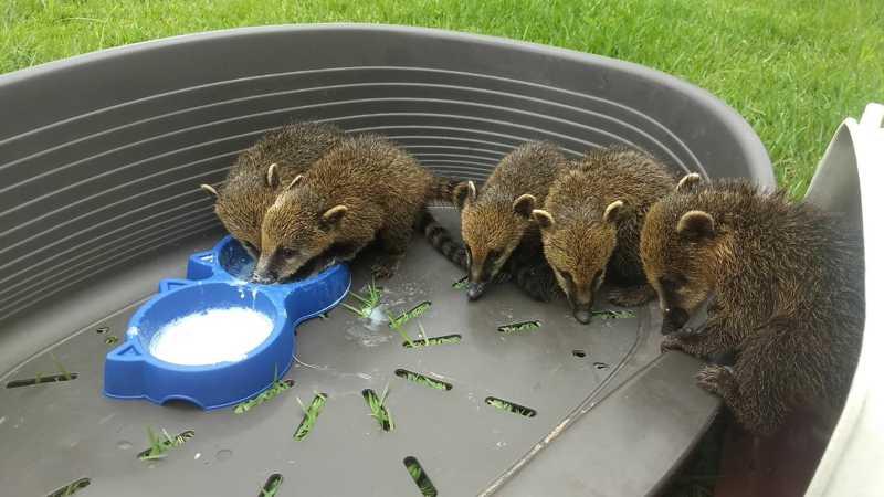 Os animais foram resgatados e devolvidos à natureza, em Bertioga, SP — Foto: Divulgação/Prefeitura de Bertioga