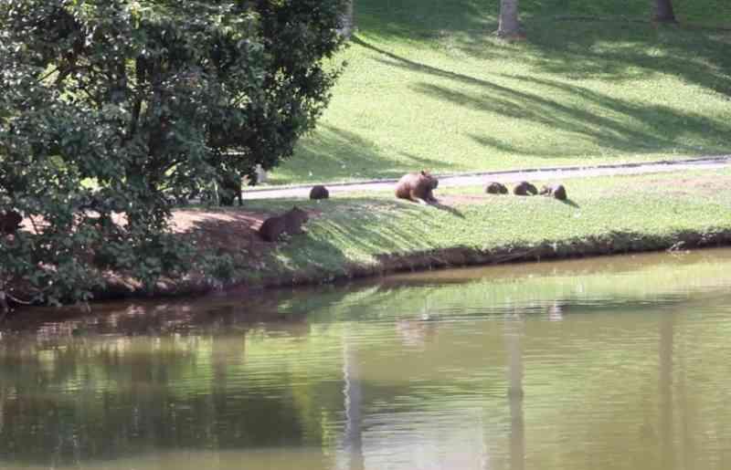 Moradores tentam impedir abate de capivaras em condomínio em Itatiba, SP