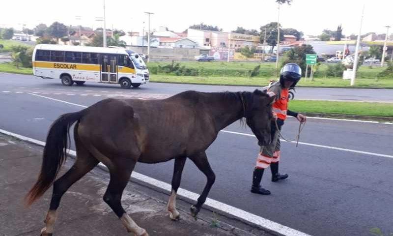 Cavalo estava em trecho do anel viário e foi recolhido por departamento - Foto: Secretaria de Comunicação Social