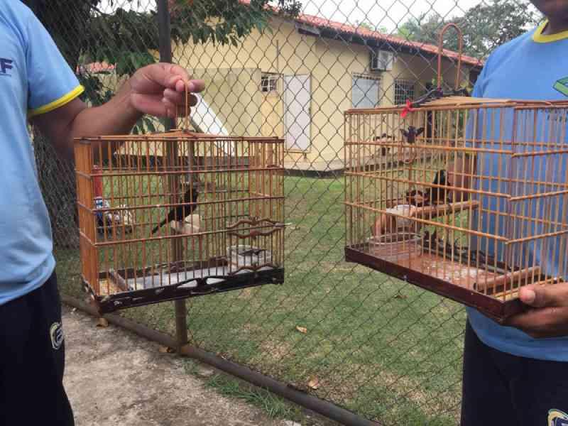 Pássaros curió são soltos na natureza após reabilitação no Ibama, em Macapá, AP