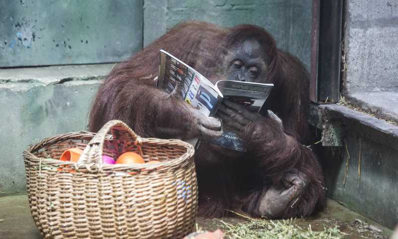 Sandra, a orangotango que foi reconhecida como 'pessoa'