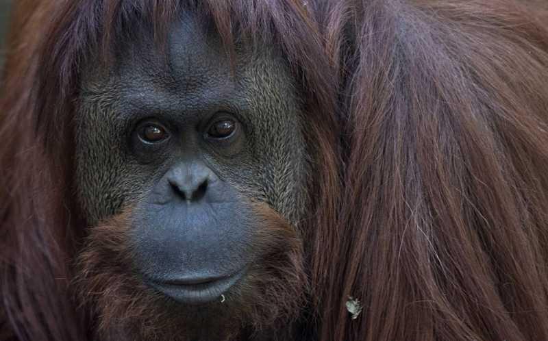 O olhar da orangotango impressiona; o cativeiro a deprime: se não a estimulam, permanece inativa metade do dia. NATACHA PISARENKO AP