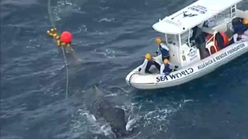 Vídeo: Baleia é resgatada após ficar presa em redes na costa da Austrália