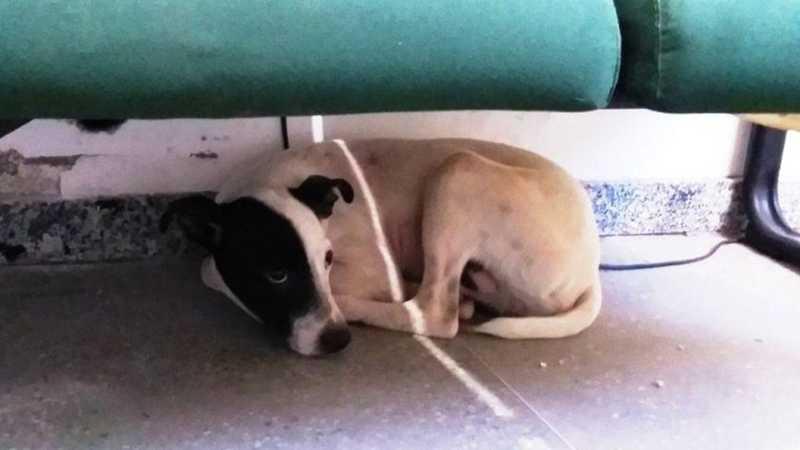 Cachorro é eletrocutado com arma de choque por vigilante dentro de casa no Ceará; 'Estava assustado', diz delegado