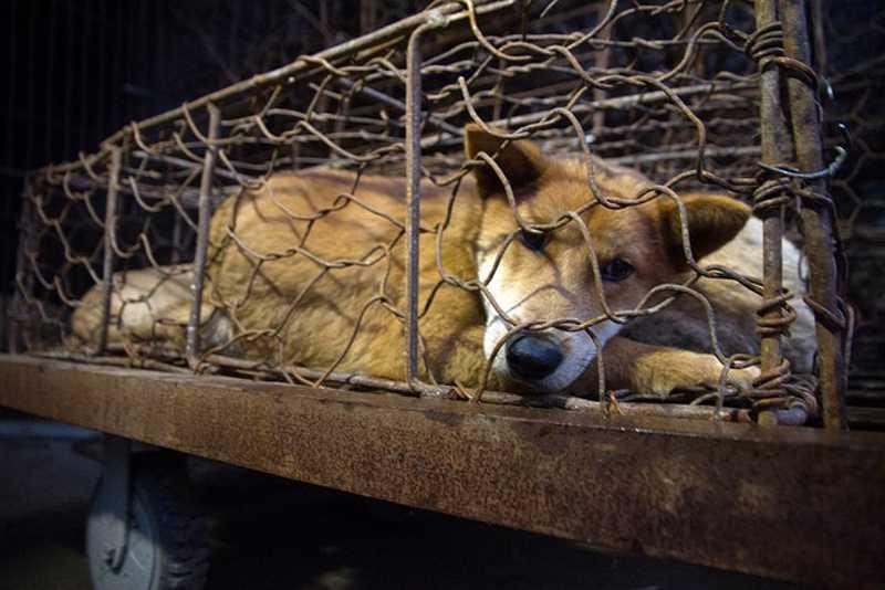 Hoje, dia 21 de junho, começa o festival de carne de cachorro em Yulin, na China