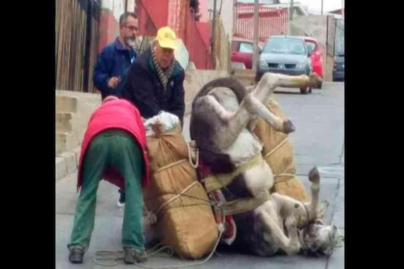 Burro forçado a puxar cargas pesadas demais cai de exaustão na rua no Chile
