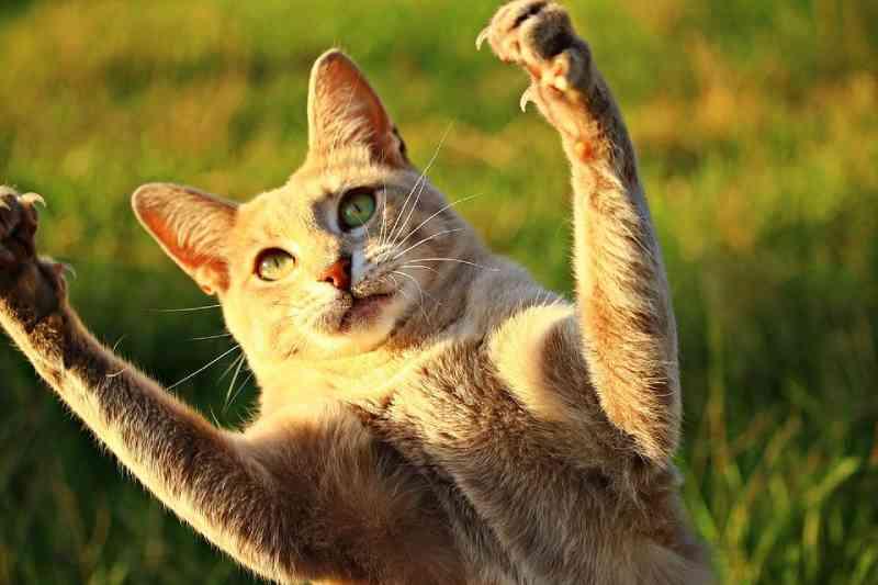 Proibição de 'amputar' unhas de gatos é aprovada em Nova York, EUA