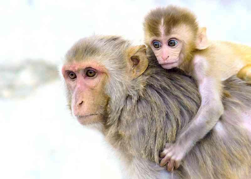 Filhotes de macacos morrem após envenenamento por acidente em pesquisa