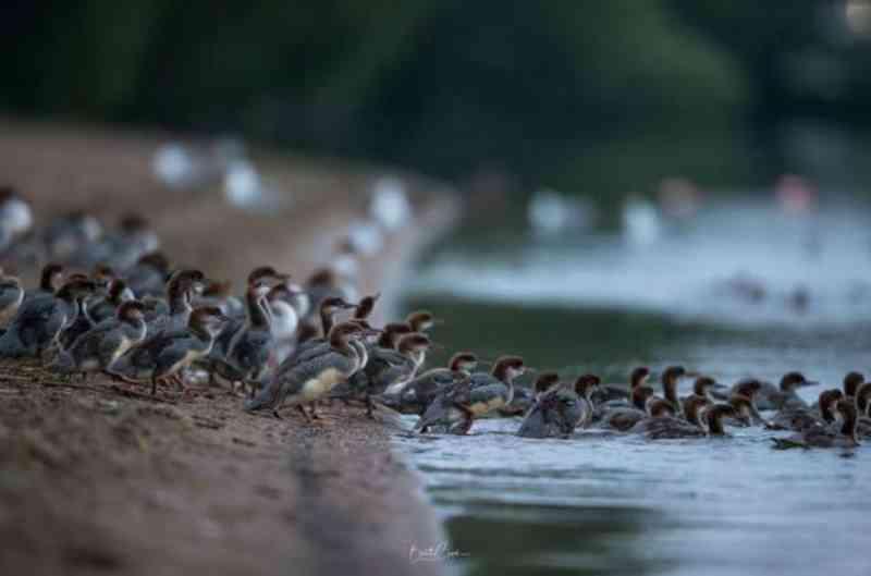 Mamãe pato que adotou dúzias de bebês continua pegando mais