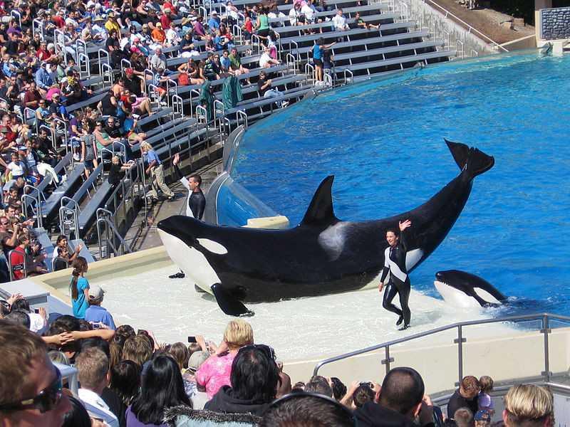 ALTO NÍVEL DE ESTRESSE EM ORCAS MANTIDAS EM CATIVEIRO LEVAM À MORTE PRECOCE DOS ANIMAIS (FOTO: WIKIMEDIA COMMONS)