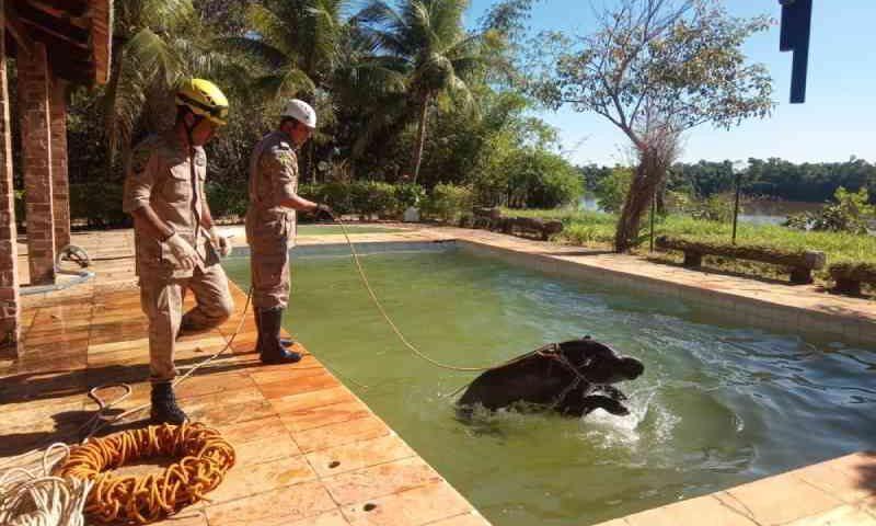 Bombeiros resgatam anta em piscina, em Britânia, GO