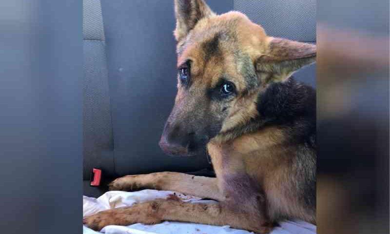 Cachorro amarrado fora de casa é resgatado com vários ferimentos e tumores em Goiânia, GO; vídeo