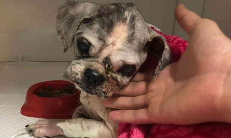 Cão que foi achado machucado dentro de saco de lixo morre em clínica de Goiânia, GO