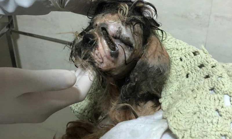Animal é encontrado com larvas no rosto, desnutrido, desidratado e quase sem pelos em Aparecida de Goiânia, Goiás — Foto: Protetores dos Animais Goiânia/ Divulgação