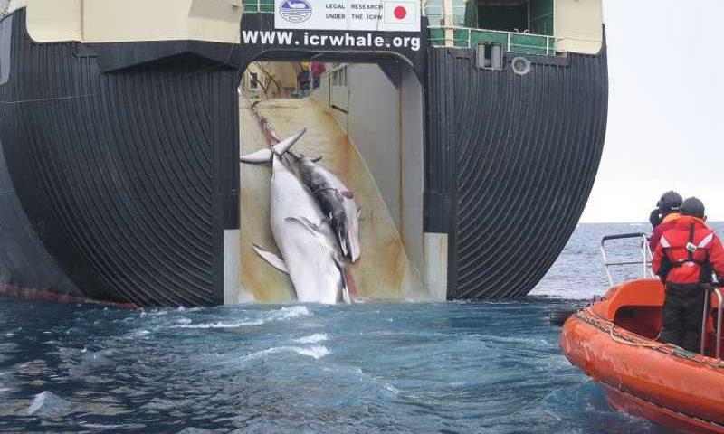 """Navio japonês pesca baleia mãe e filha em nome da """"pesquisa"""" (Crédito: Customs and Border Protection Service, Commonwealth of Australia)"""