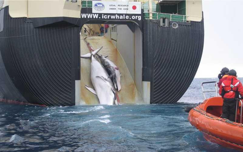 Em 1º de julho, Japão reinicia caça comercial de baleias depois de 30 anos